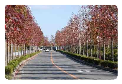 京都市:京都の街路樹